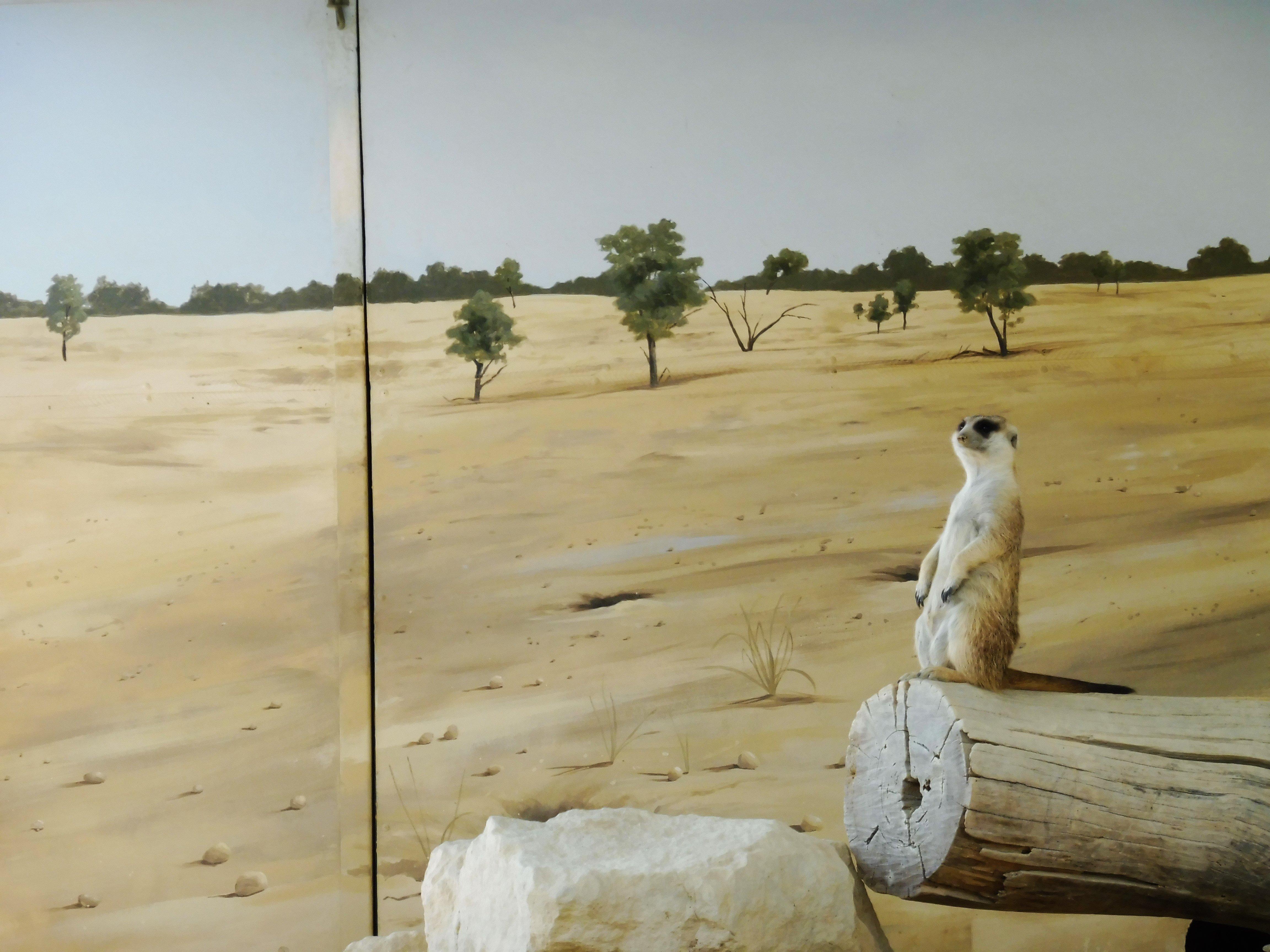 WARNING! More meerkat pictures ahead!